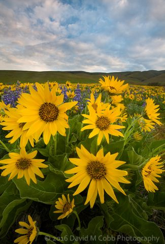 Balsamroot (Balsamorhiza deltoidea) and lupine in bloom in the Columbia Hills State Park, at the Dalles Mountain Ranch, Washington, USA in the spring.
