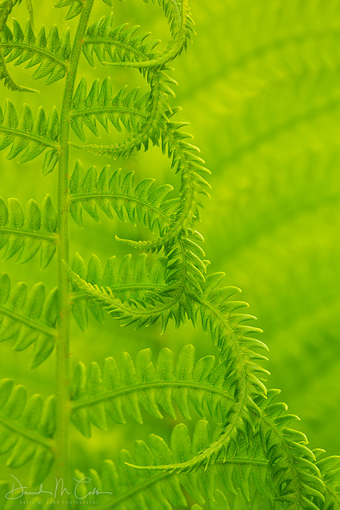 A fern unfolds in spring time. Oregon. USA