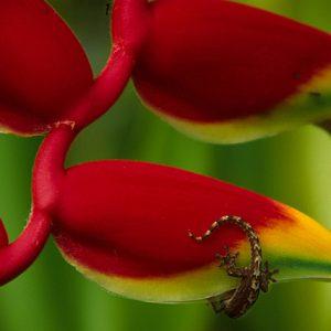Heliconia & Gecko