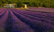 Lavender Morning