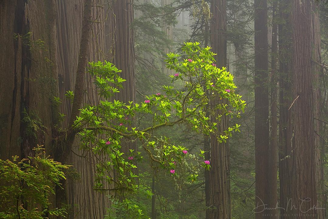 Old Tree Large Rhodie