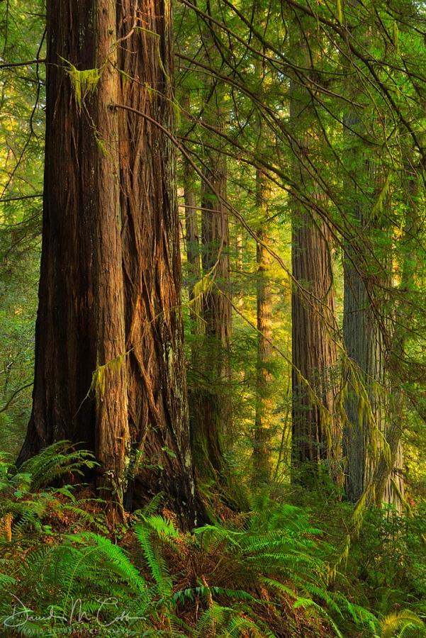 Oregon Redwoods