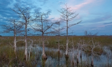 Dwarf Cypress Everglades National Park