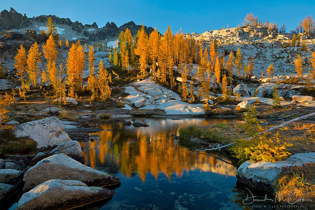 Fall larch reflecting in a pond in the Alpine Lakes Wilderness Enchantments section. Washington. USA