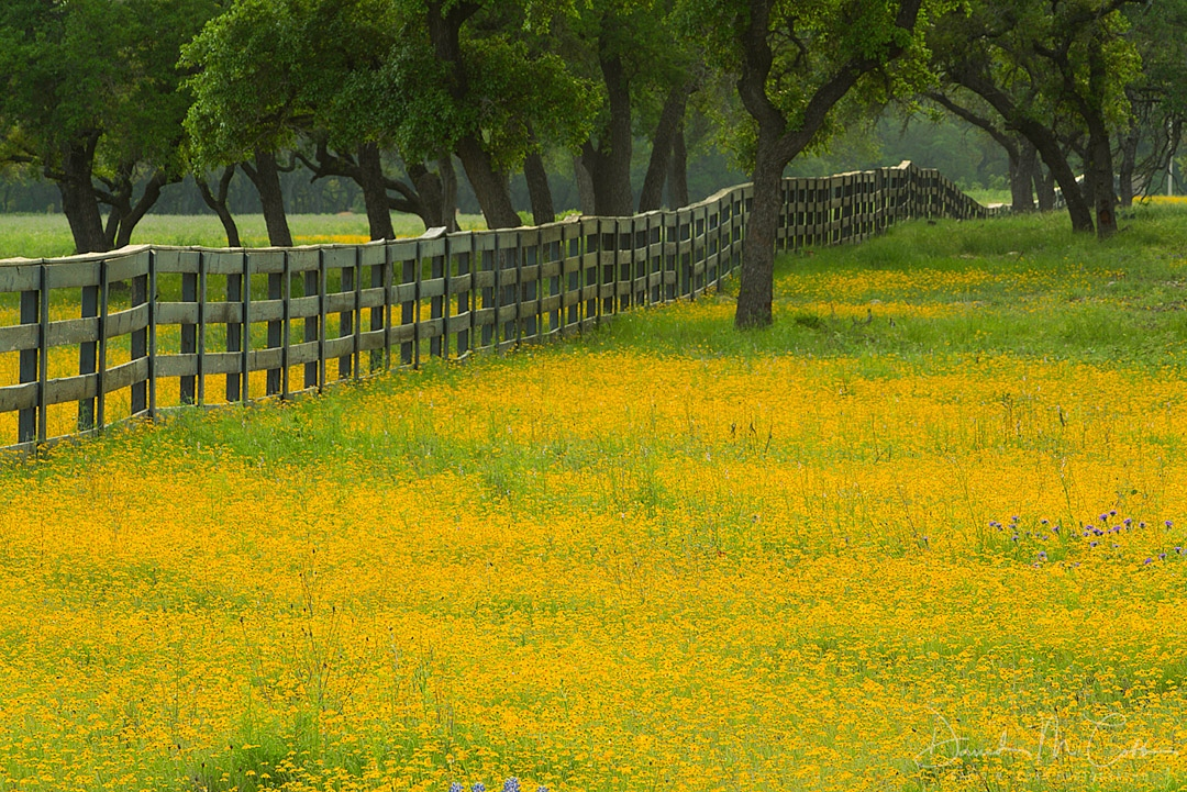 Yellow Field Fenceline