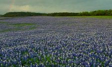 Bluebonnet Rainbow