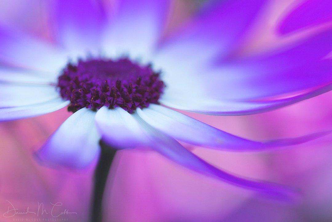 Painted Daisy (Pericallis)