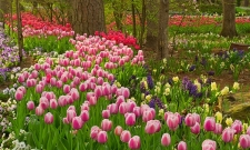 Garvan Tulip Rows