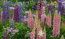 Lupine in Iris Garden
